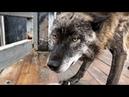 Волк съел три курицы за раз , Канадский волк Акела / северный волк / крупный волк