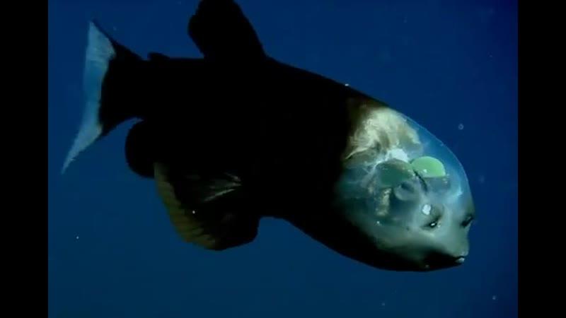 Малоротая макропинна или бочкоглаз единственная рыба в мире имеющая прозрачную голову