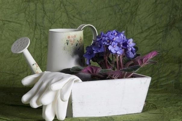 5 причин, почему у вас дома не цветут фиалки