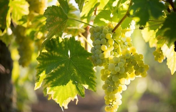 Что делать, если лоза хорошая, а винограда мало