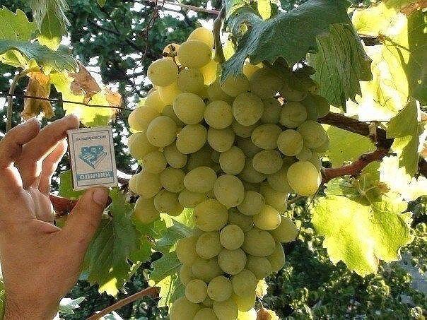 Как правильно формировать виноград Многие начинающие виноградари задаются вопросом, как формировать виноград, чтобы он приносил большие, а главное постоянные урожаи. Ведь именно от правильного