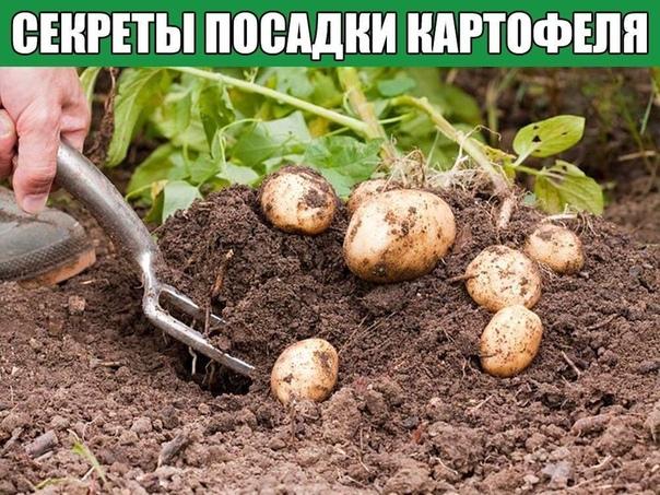Секреты посадки картофеля Если вы не проращиваете семенные клубни, то имейте в виду, что всходы от такого материала появятся значительно позже, прорастание может затянуться до трёх недель, а из